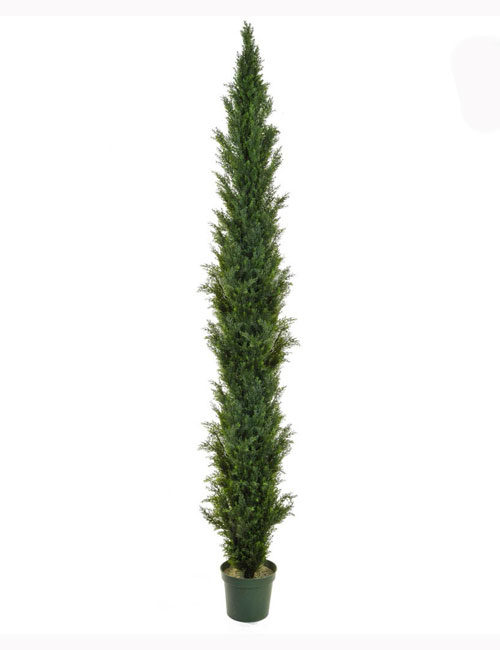 300cm Cedar Mini Pine